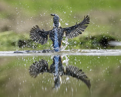 Up and Away (michelemcampbell) Tags: kingfisher wildlife bird water reflection nikond850 birds feeding splash droplets
