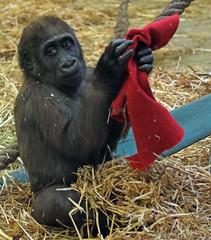 western lowlandgorilla Yanga Artis 094A0286 (j.a.kok) Tags: gorilla westelijkelaaglandgorilla welp lowlandgorilla laaglandgorilla animal artis africa afrika aap ape zoogdier dier primate primaat mammal monkey mensaap yanga
