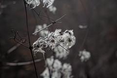 Waldreben (Clematis) im Winter (olds.wolfram) Tags: pflanze winter grau weis gewöhnliche waldrebe giftig zierpflanzen zierpflanze parks gärten