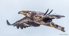 Bald Eagle  (Juvenile) (bbatley) Tags: eagle wildlife baldeagle juvenile