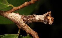 Moth Caterpillar, unidentified (John Horstman (itchydogimages, SINOBUG)) Tags: insect macro china yunnan itchydogimages sinobug entomology moth lepidoptera caterpillar larva unidentified crypsis camouflage canon