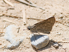 DSC_2925 (stoupaduck) Tags: butterfly cyclades insect naxos pygmyskipper skipper