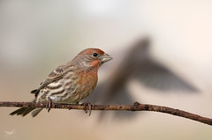 Dreams of Flight (dennis_plank_nature_photography) Tags: avianphotography housefinch thurstoncouny birdphotography naturephotography wa avian birds blind copse home nature
