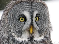 Bea Great Gray Owl CRC IMG_3188 (Jennz World) Tags: ©jennifermlivick canadianraptorconservancy vittoria ontario canada greatgrayowl greatgreyowl owl raptor bird winter snow
