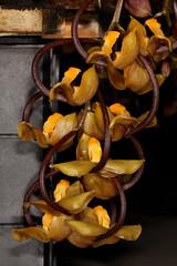Gongora galeata 2019-02-11 02 (JVinOZ) Tags: orchid orchidspecies gongora