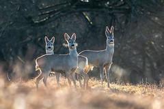 Őzek - Roe deers - Rehe (tarjangz) Tags: roe roebuck roedeer rehbock reh rehe őz őzbak őzsuta őzek wild wildlife tier animal mammal nature outdoor