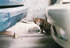 (YL.H) Tags: nikon f801s hillvale sunny16 taipei taiwan film analog 底片 cat 貓