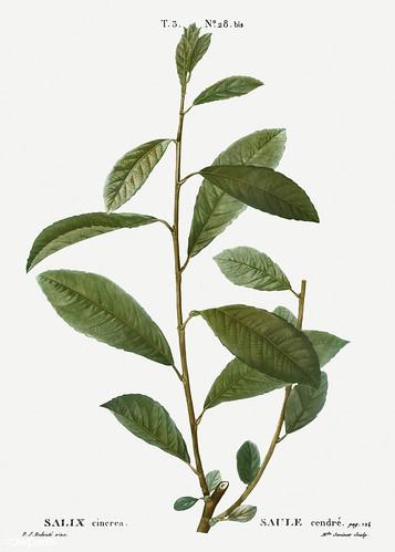 Grey willow (Salix cinerea) illustration from Traité des Arbres
