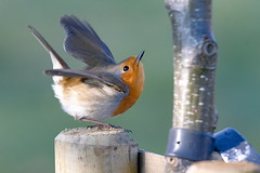 the only way is up (Paul wrights reserved) Tags: robin robins takingoff action wing wongs pose bird birds birding perched cute