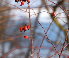DSC_0967 (yxi137) Tags: red berries winter spring гелиос helios гелиос81н helios81