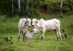 Brahman Cattle (ashockenberry) Tags: ashleyhockenberryphotography animal eco exotic reserve rica rainforest river costa cattle domestic livestock beautiful central america white jungle ranch land