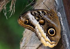 Owl butterfly <--> 15 cm (in Explore 12 Febr. 2019) Smile on Saturday - Shades of Brown (Ineke Klaassen) Tags: butterfly owlbutterfly caligoatreus uilvlinder bananenfalter vlinder nature natuur naturephotography natur natuurfotografie sony sonyimages sonya6000 sonyalpha sonyalpha6000 sonyilce6000 ilce animal macro inexplore invitedtoinexplore explored explore 100fav 100faves 100favs 10000views 200favs 200faves 200fav 250faves 250fav 250favs 300fav 300favs 300faves 50000views 80000views 400faves 400favs 400fav 450faves 450favs 450fav 475faves 475fav 475favs 85000views smileonsaturday shadesofbrown brown sos 500faves 500fav 500favs 510faves zoomnl 515fav 515favs 515faves insect insects insecten 88000views