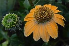 Enchanting yellow... (Mona Zimba) Tags: tangledfx echinacea coneflower bud flower nature yellow