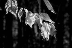 Light and shadows (CTfoto2013) Tags: foliage leaves feuilles arbres trees nb bw blancetnoir noiretblanc blancoynegro blackandwhite light lumiere ombre shadows grosplan closeup nature lumix panasonic gx7 dof detail macro