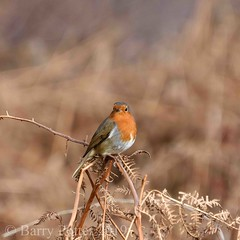 Robin in the forest (Barry Potter (EdenMedia)) Tags: barrypotter edenmedia nikon d7200 robin