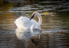 Swan and Fall Colors (Mark Polson) Tags: lakecamelot mn plymouth swan trumpeter