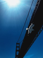 golden gate (vhickey25479) Tags: seagull goldengate sanfrancisco