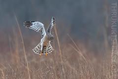 Hovering Harrier (ThruKurtsLens.com) Tags: 2019 flying harrierhawk kurtwecker nature naturephotographer talons thrukurtslenscom wildlifephotographer wildlifephotography winter