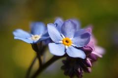 Forget-Me-Not        Kern Paillard SWITAR RX  1:1,4  F=25mm (情事針寸II) Tags: マクロ撮影 自然 花 勿忘草 cmountlens blue bokeh macro nature fleur flower myosotis forgetmenot kernpaillardswitarrx114f25mm