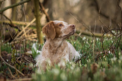 In the snowdrops (colorgraVie) Tags: bokeh bretone englischersetter hund nikonafsnikkor85mm118g nikond7200 pointer schneeglöckchen tier brittany englishsetter dog snowdrops animal