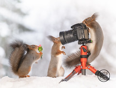 Red squirrels standing with a camera and a bouquet of flowers (Geert Weggen) Tags: squirrel camera red animal backgrounds bright cheerful close color concepts conservation culinary cute damage day earth environment environmental equipment love valentine flower winter snow photo bouquet model bispgården jämtland sweden geert weggen hardeko ragunda