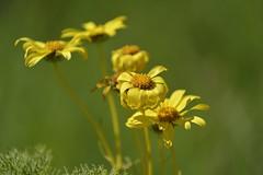 "The Cycle of Being (""S.L"") Tags: nikon nature wide macro closeup naturmort yellow chamomile dof magic green flower flowers art artistic imaginative creative harmony"