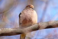 Peaceful Mourning Dove (Anne Ahearne) Tags: mourningdove wild bird animal nature wildlife tree sleeping peace dove songbird birdwatching
