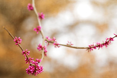Coming soon... (jeanne.marie.) Tags: pink orange buds redbud tree branches textured golden beech spring