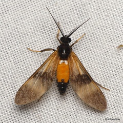 Wasp moth, Leucotmemis sp.? Erebidae, Arctiinae (Ecuador Megadiverso) Tags: amazon andreaskay ecuador moth orkidealodge rainforest tropic leucotmemis erebidae arctiinae