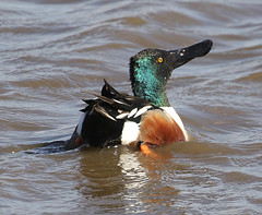 F_031519d (Eric C. Reuter) Tags: birds birding nature wildlife nj forsythe nwr refuge oceanville brigantine march 2019 031619