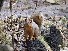 Squirrel . (EcoSnake) Tags: squirrels easternfoxsquirrel wildlife idahofishandgame naturecenter
