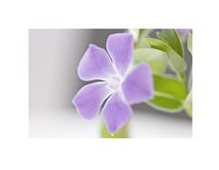 Hierba doncella, (Vinca major). (EFD-fotolab) Tags: efdfotolab marzo invierno españa nikkor105mm nikond610 nikon naturaleza macro flowers flores floressilvestres vincamajor hirbadoncella