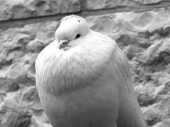 Thermal Insulation B&W (zeevveez) Tags: זאבברקן zeevveez zeevbarkan canon dove pigeon bw
