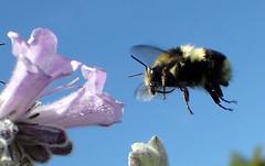 Black-tailed Bumble Bee (Bombus melanopygus) (J.Thomas.Barnes) Tags: