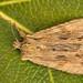 2236- _W4A8703 Pale Pinion (Lithophane hepatica)