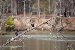 FM5A0261 (Kemp Davis) Tags: wildlife nature aquaticbird cormorant