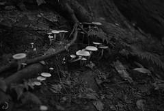 Parade (bd168) Tags: bokeh tonsdegris shadesofgrey forêt forest mushrooms champignons blancetnoir blackandwhite racines fougères fern roots sol ground bois wood fujifilmxt10 xf50mmf2rwr
