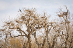 Great Blue Heron Rookery (Striking Photography by Bo Insogna) Tags: greatblueheron rookery nesting nest birds wildlifeart jamesinsogna trees naturelandscapes sonya7rii a7rii a7r