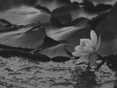 Lotus Flower, Black and White (naoryvi17) Tags: lotus flower black white valdivia chile flor de loto blanco y negro fotografia photography