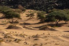 Little creatures (s_andreja) Tags: mauritania desert trees acacia goat animal sand