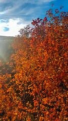 Fire Leaves (Bracus Triticum) Tags: fire leaves tree アルバータ州 alberta canada カナダ calgary カルガリー 9月 九月 長月 くがつ kugatsu nagatsuki longmonth 2018 平成30年 fall autumn september