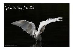 Vallon du stangalard 2018 - L'aigrette Garzette chasse le vairon ... (porte-plume) Tags: stangalard stangalar brest