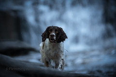 running from water (Flemming Andersen) Tags: zigzag spaniel waterfall pet nature water dog outdoor cocker hund mumlava falls animal mumlavafalls harrachov liberecregion czechrepublic cz
