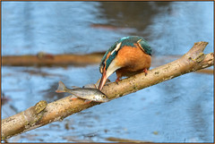 Kingfisher (image 2 of 3) (Full Moon Images) Tags: suffolk wildlife trust nature reserve lackford lakes bird fish kingfisher