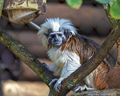 Posing for its Picture (Harry Rother) Tags: animal mammal tamarin monkey cottontop disney primate