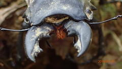 P1255552 (yangklin) Tags: 光明山稜線 鍬形蟲