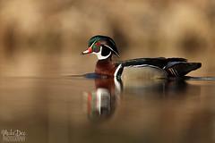 IMG_8230nxr (4President) Tags: wood duck aix sponsa minnesota