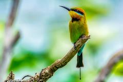 Rainbow Bee Eater (David Hamments) Tags: bird nt rainbowbeeeater northernterritory maryrivernationalpark mistakebillabong austraila flickrunitedaward