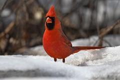 Northern Cardinal (kevinwg) Tags: tree woods northern cardinal northerncardinal snow winter male bird
