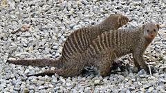 Botswana Mongoose spotted at the hotel (h0n3yb33z) Tags: botswana animals wildlife mongoose africa